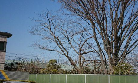 【千葉県市原市姉崎】桜の剪定