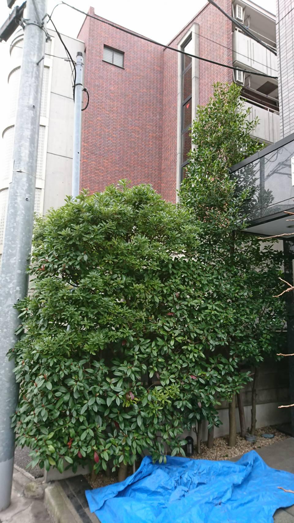 大田区大森中・集合住宅 エントランス脇の植木の剪定