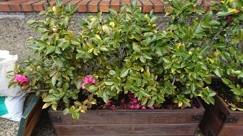 港区六本木ヒルズ・山茶花の剪定と肥料やり