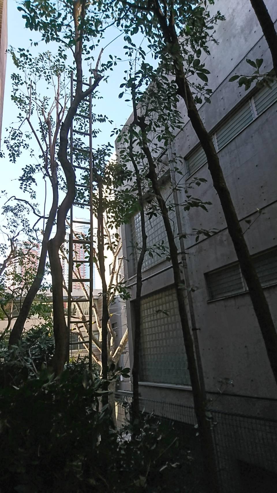 【東京都港区】敷地内高木の剪定  定期管理2