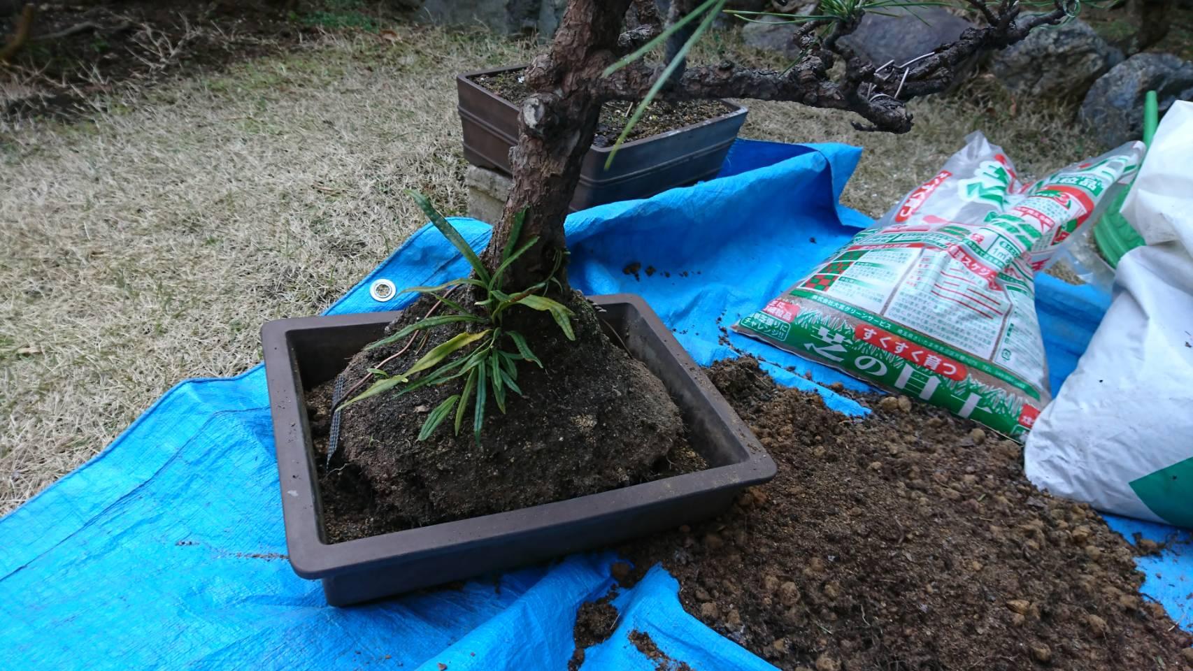 【大田区大森中】盆栽の植え替え 春の庭仕事