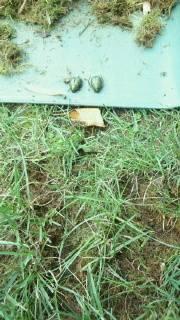コガネムシの幼虫は芝生も要注意1