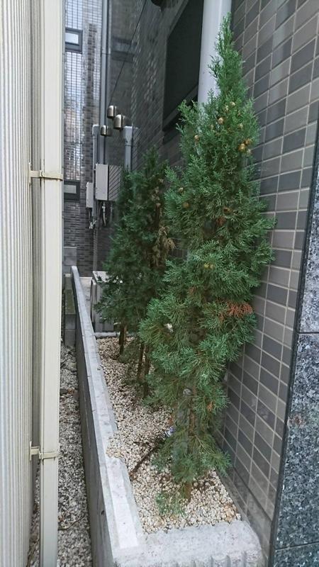 大田区東蒲田、植木、イタリアンサイプレス