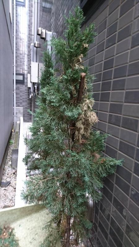 大田区東蒲田、植木、イタリアンサイプレス3