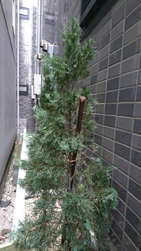 大田区東蒲田、植木、イタリアンサイプレス4