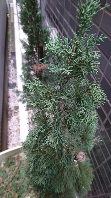 大田区東蒲田、植木、イタリアンサイプレス6