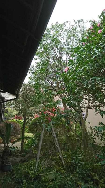 【横浜市北区師岡町】庭木の剪定・植木屋2