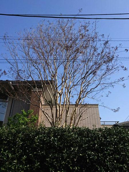 都杉並区の庭木の剪定・お庭のお手入れ「サルスベリ」before
