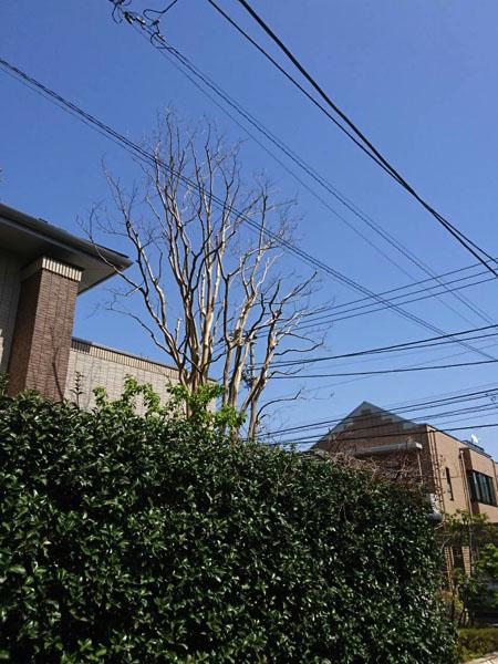 都杉並区の庭木の剪定・お庭のお手入れ「サルスベリ」after