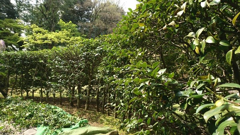 東京都大田区の庭木の剪定・お庭のお手入れ「サザンカ」の生垣、ツバキ科で11月から1月頃までお花を咲かせる