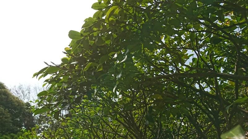 東京都大田区の庭木の剪定・お庭のお手入れ「サザンカ」は6月頃まで枝を伸ばし花芽を形成。