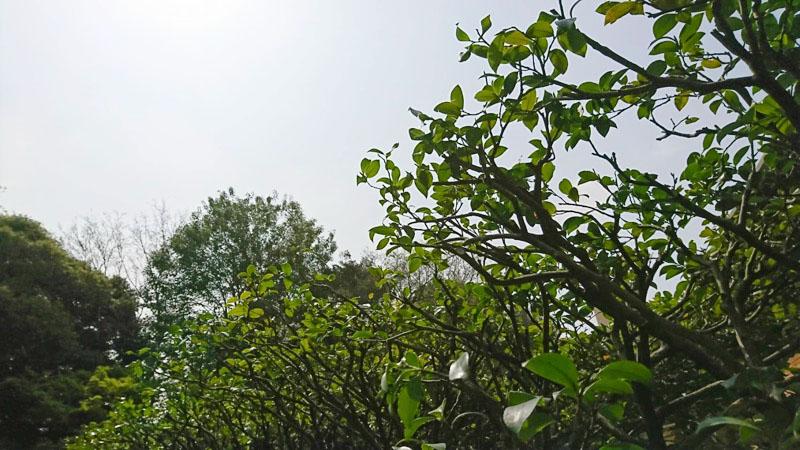 東京都大田区の庭木の剪定・お庭のお手入れ「サザンカ」の生垣、剪定の適期は花が終わった後の3〜4月に枝透かし、9〜10月に樹形を乱す枝の整えがbest