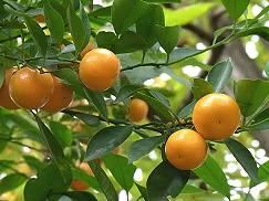 橘の実はみかんのよう