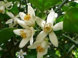 橘の花は白い花