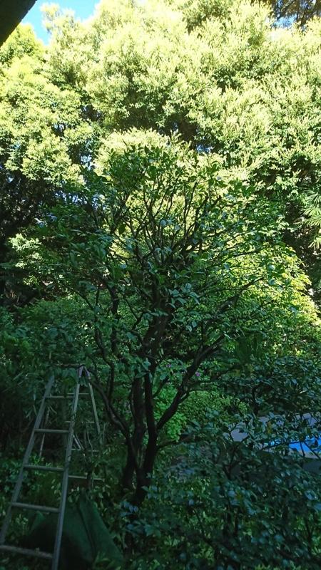 橘は他の柑橘樹と同様、3月に新芽が芽吹く前が最も理想的な剪定時期です。