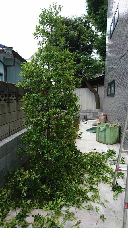 植え込みの際、モチノキの新芽がまだしっかりと固まっていなかったため、適量の枝葉を剪定しました。